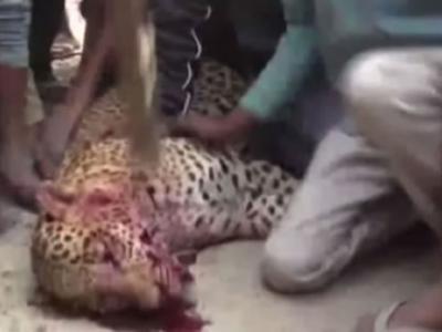 猎豹因为频频闯入印度古尔冈村庄觅食 意外咬伤动物和村民引发众怒被活活打死