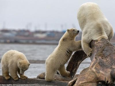 美国阿拉斯加北极熊觅食头卡鲸鱼骨盆 小熊好奇凑近