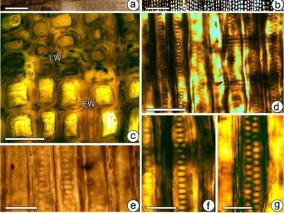 四川盆地新发现的松柏类木化石--广元异木(新种)揭示距今两亿年前降温事件