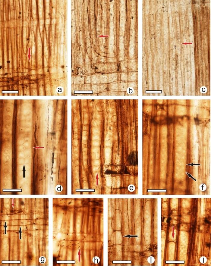 发现自辽西北票侏罗纪的银杏木材化石-辽宁银杏木的解剖构造