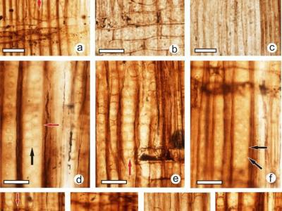 """辽宁西部北票地区侏罗纪地层发现新的银杏木材化石——""""辽宁银杏木"""""""