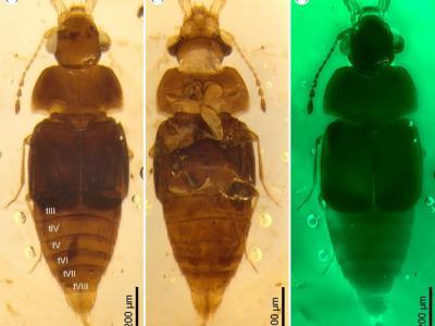 1亿年前缅甸琥珀中发现的原隐翅虫亚科昆虫化石揭示白垩纪中期昆虫与真菌的相互关系