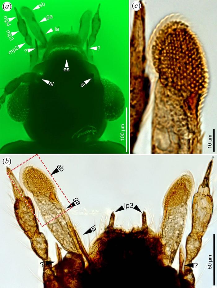 高度特化的口器和用于刮食菌类孢子的孢子刷