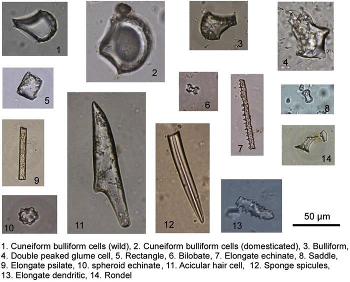 钻孔沉积物中的主要植硅体类型