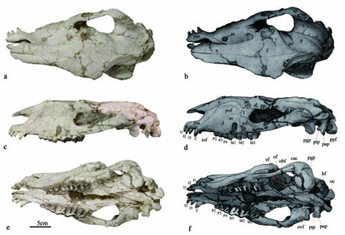 退化祖犀(Pappaceras meiomenus)头骨化石背视(a)、侧视(C)和腹视(e)及图解。(王海冰供图)