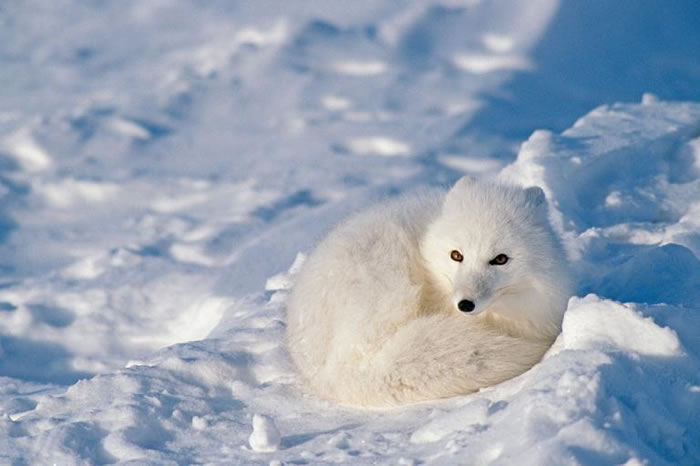 寒冬降临时,北极狐会长出雪白毛皮作为保护色。 PHOTOGRAPH BY TOM MURPHY, NATIONAL GEOGRAPHIC CREATIVE