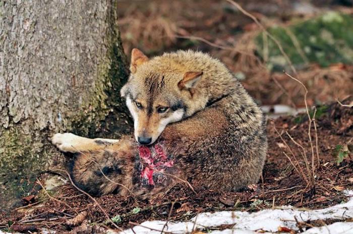 德国巴伐利亚森林中,一只因争地盘战斗而受伤的灰狼正舔拭着伤口。