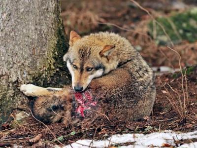 动物疼痛会写在脸上吗?