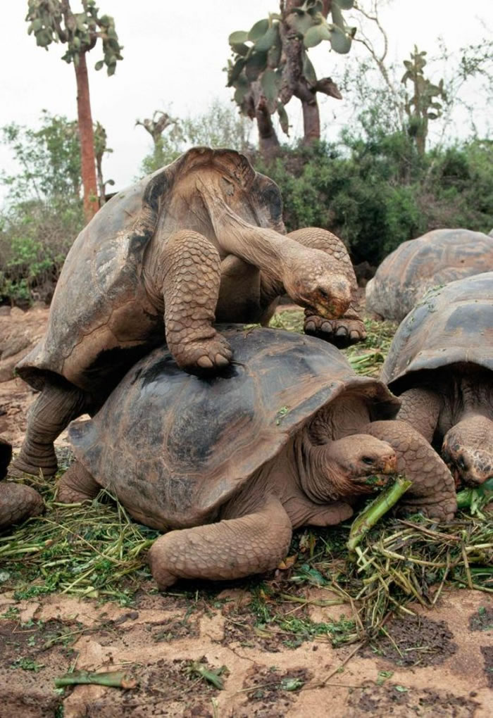 达尔文研究中心的巨型陆龟正在交配。