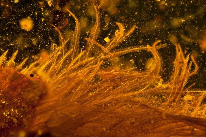 电脑断层扫描显微镜下,呈现恐龙尾巴上的纤细羽毛。 PHOTOGRAPH BY LIDA XING