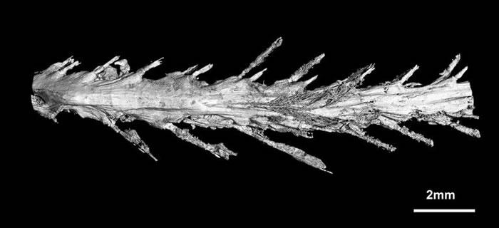 这张是尾巴下半的扫描图,可以看见羽毛排列的方式。 PHOTOGRAPH BY LIDA XING