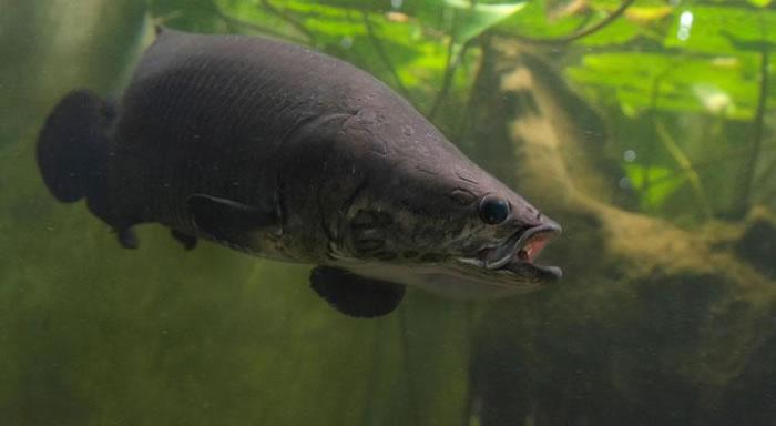 巨骨舌鱼(arapaimas)也叫做海象、象鱼;亚马逊原住民中称之为pirarucu,意思是红色的鱼。是一种生活在亚马逊河流中可以直接呼吸空气的大型鱼。 PHO