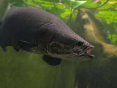 许多未知的巨骨舌鱼潜伏在亚马逊:新研究指出象鱼的多样性可能超乎我们期待