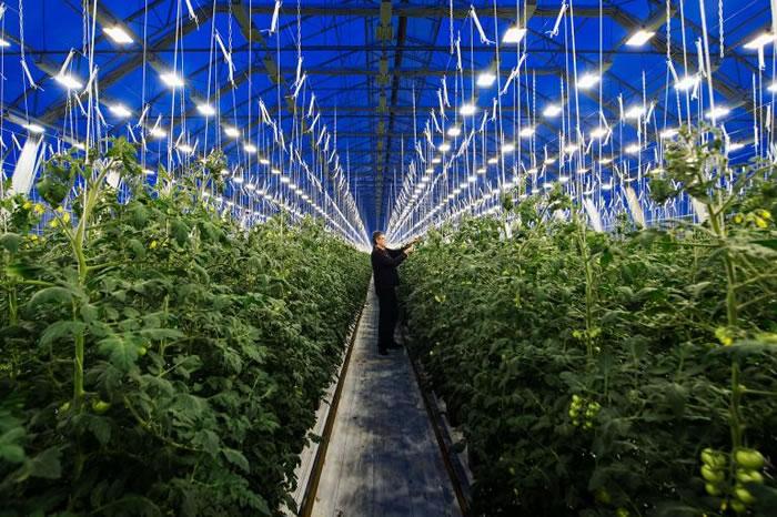 瑞典拉普兰(Swedish Lapland)尼宾村(Nybyn village)的农夫罗杰.尼尔森(Roger Nilsson)正在检视他于温室中栽种的番茄。