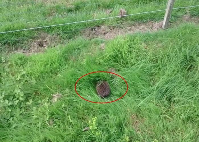 小刺猬(红圈)在草地上缓缓爬行。
