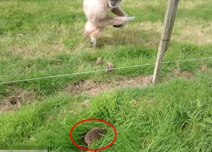 白色长臂猿看见小刺猬(红圈)郁动,吓得弹起。