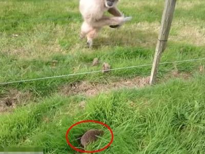 英国坎布里亚郡湖区野生动物园长臂猿首遇小刺猬