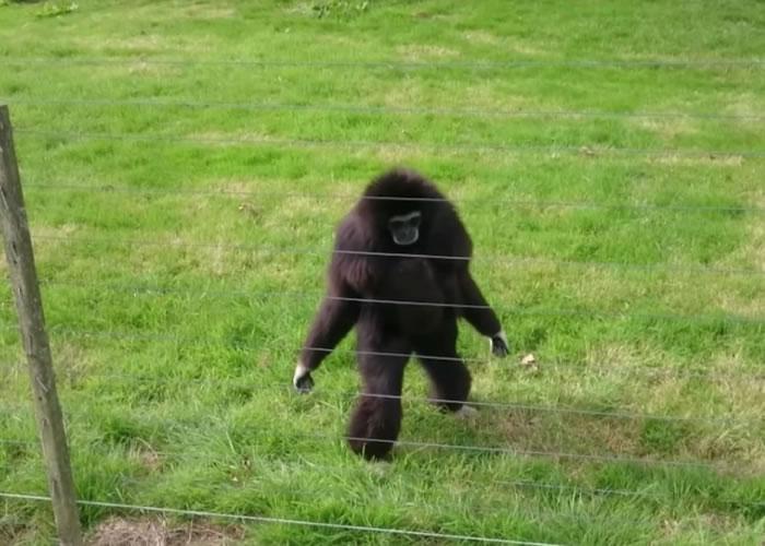 黑色长臂猿也想看个究竟。