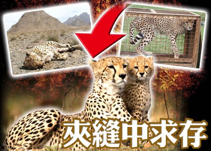 猎豹面临绝种的危机。