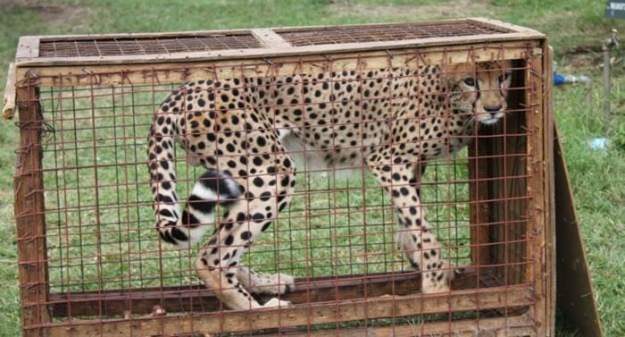 人类非法狩猎野生动物,令猎豹难以猎食求生。