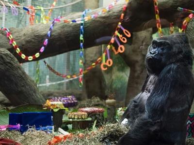 美国最老大猩猩60大寿 比预期寿命长20年