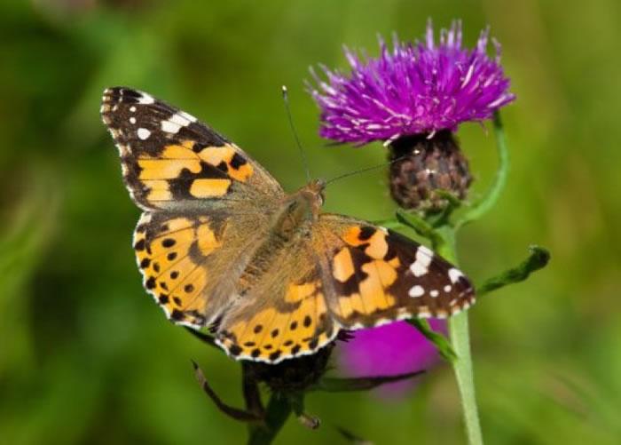 研究指昆虫迁徙反映全球气候变化的情况。