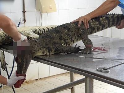 越南鳄鱼农场以残忍方式活剥鳄鱼皮