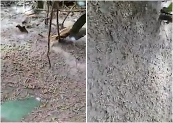 素帕猜查拉功发现多条毛虫涌出觅食。
