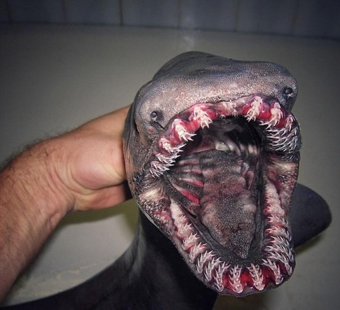 皱鳃鲨外貌狰狞。