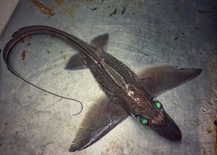 一条拥有绿色眼睛的鲨鱼。