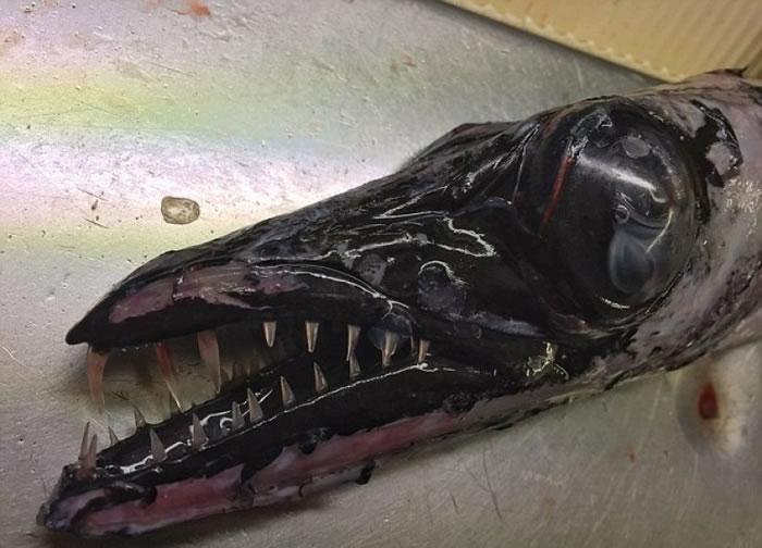 黑色长形身躯加上利齿,外型跟常见的海洋生物分别甚大。