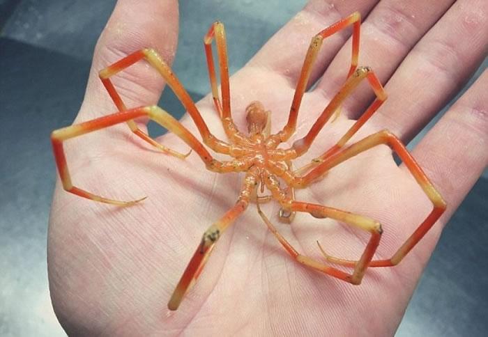橙色的海蜘蛛。