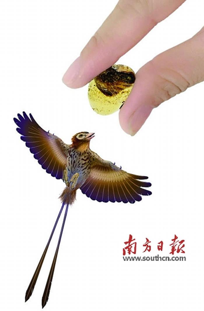 """""""天使之翼""""标本和反鸟类的同比例重建图。"""