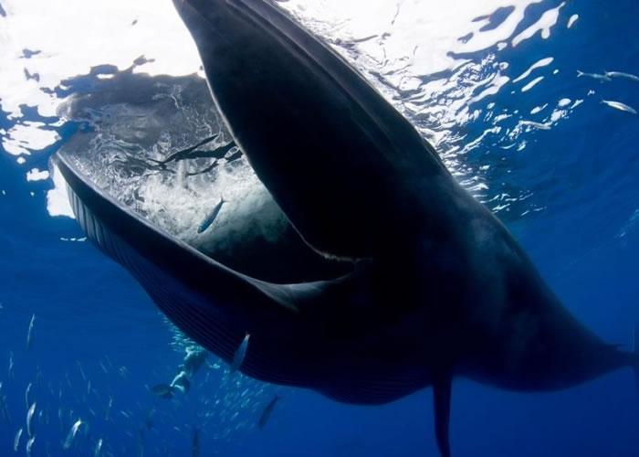 布氏鲸的口部非常巨大。