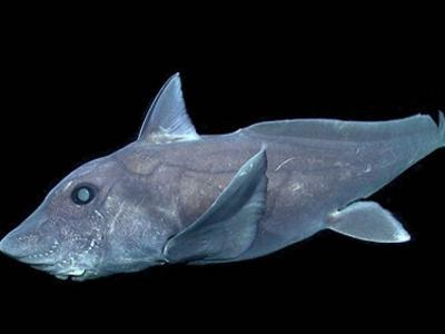 """3亿年前物种""""鬼鲨""""银鲛首次在北半球被发现"""
