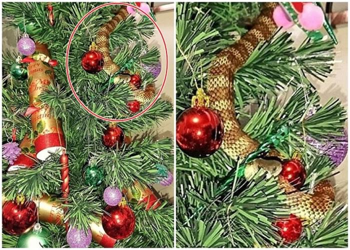 该条虎蛇(红圈示)卷缩在圣诞树上。