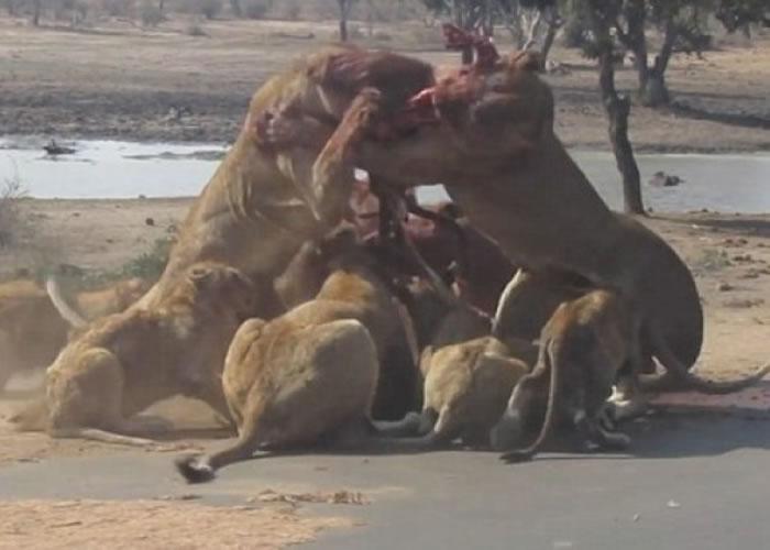 """南非克鲁格国家公园两只母狮疑因争夺食物大打出""""手"""""""