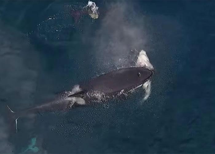杀人鲸一口将鲨鱼咬紧。