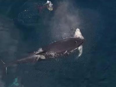 """美国加州三条杀人鲸追杀一条鲨鱼 可能是""""教学过程"""""""