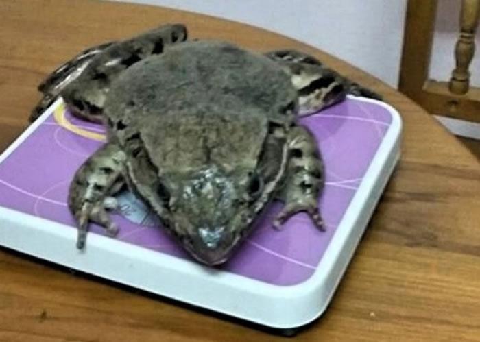 巨型山地蛙于当地非常罕见。