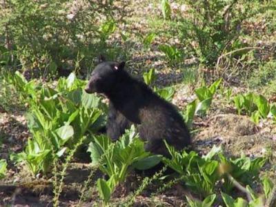 美国新泽西州猎熊季节结束 636头黑熊命丧人类手