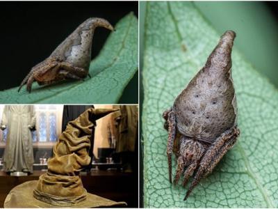 """印度发现新品种""""葛莱芬多""""蜘蛛 外形似《哈里波特》学院帽"""