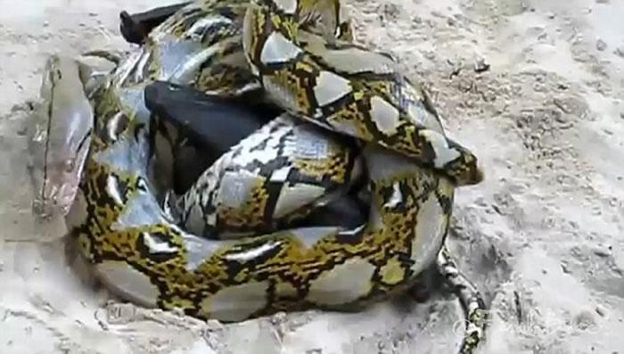 一只狐蝠与一条蟒蛇缠斗