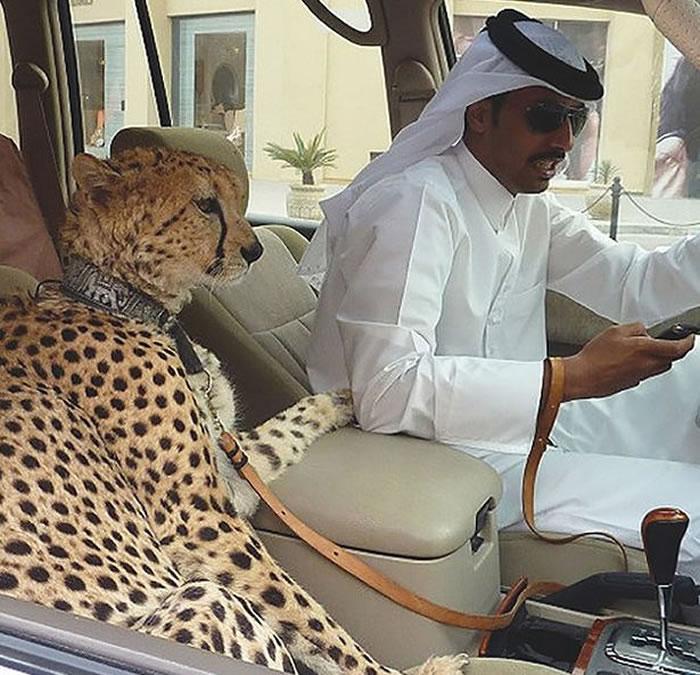 阿拉伯联合酋长国宣布禁止把大型猫科动物当作宠物饲养
