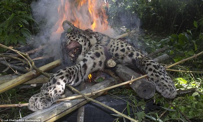 之前在印度东北阿萨姆邦Kalgaon地区,当地人用棍棒将误入的印度猎豹打到七孔流血,并放火焚烧尸体。