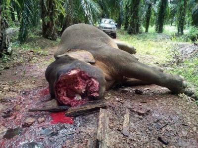 马来西亚北部佳瓦森林保护区侏儒象脸部遭挖除