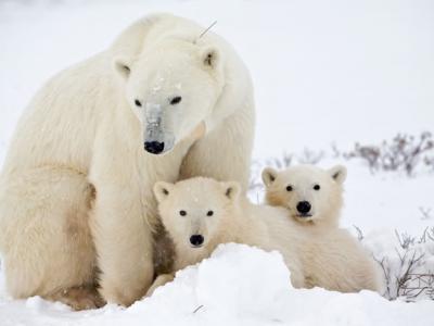 持久性的有机污染物对北极熊威胁最大