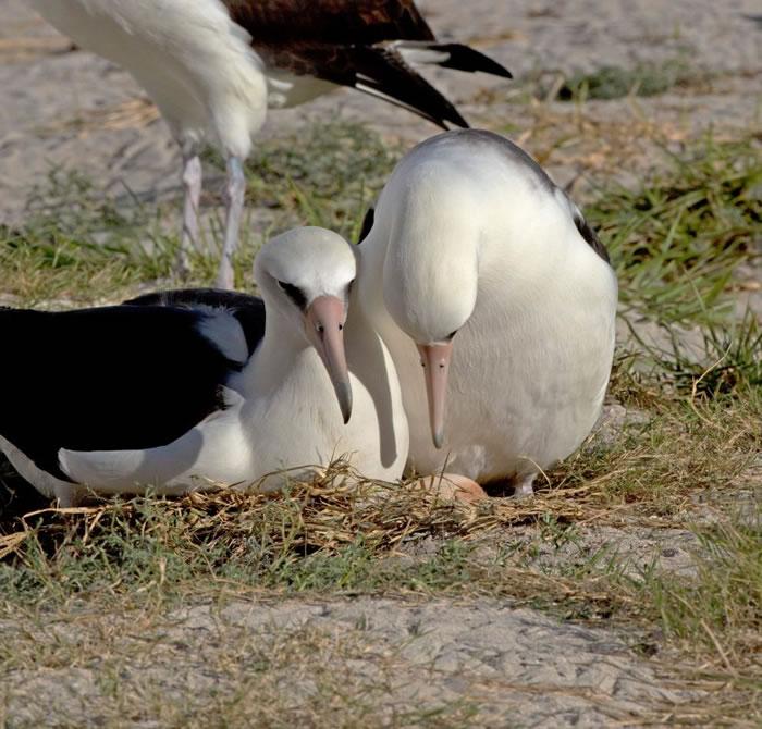 智慧(右)于中途岛筑有巢穴。