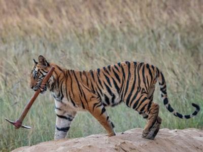 印度中央邦野生动物保育区聪明老虎懂得使用人类工具?