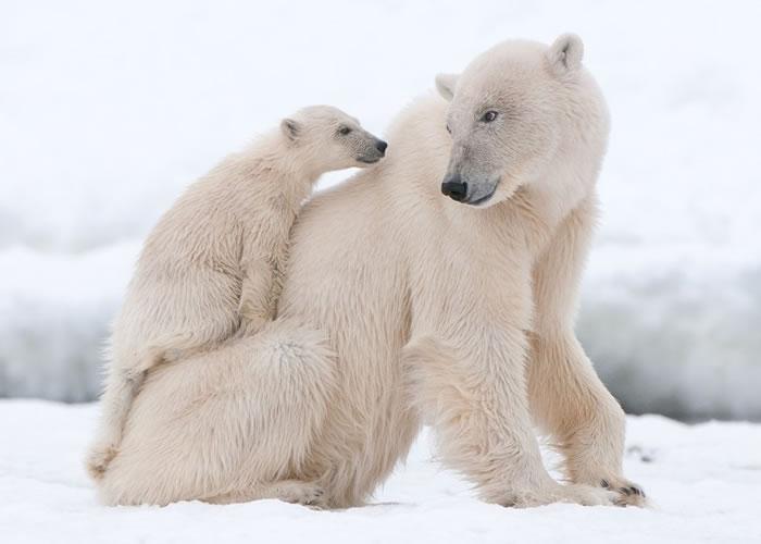 全球暖化令北极熊的生存愈见困难。